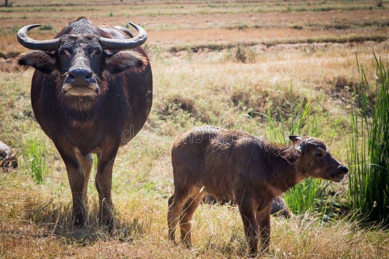 Тайский буйвол на поле риса, индийском буйволе в Таиланде стоковое фото rf