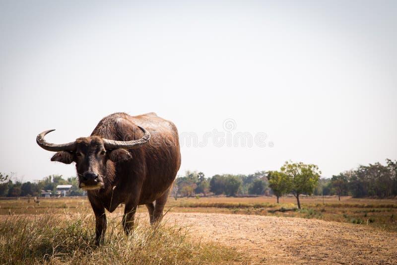 Тайский буйвол на поле риса, индийском буйволе в Таиланде стоковые изображения rf