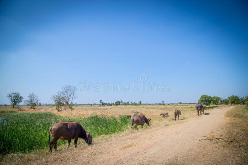 Тайский буйвол на поле риса, индийском буйволе в Таиланде стоковые изображения