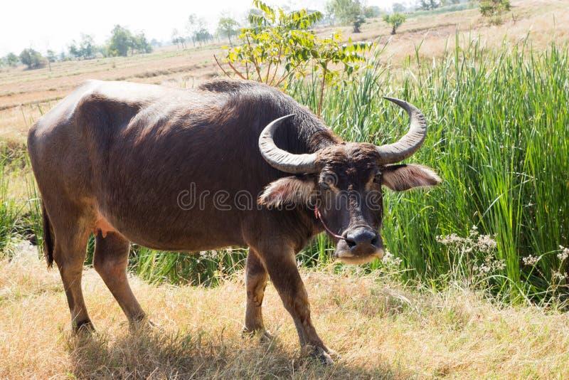 Тайский буйвол на поле риса, индийском буйволе в Таиланде стоковое изображение