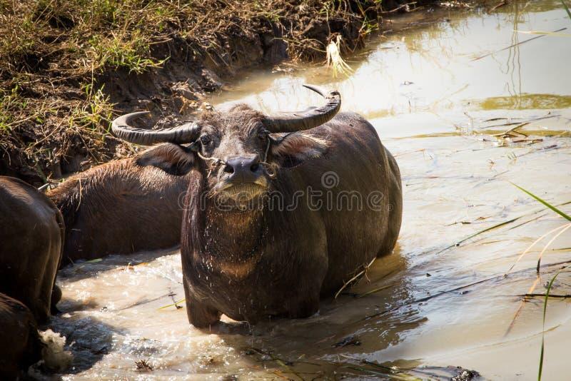 Тайский буйвол на поле риса, индийском буйволе в Таиланде стоковая фотография
