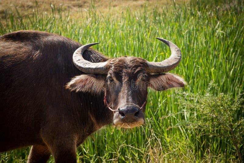 Тайский буйвол на поле риса, индийском буйволе в Таиланде стоковая фотография rf