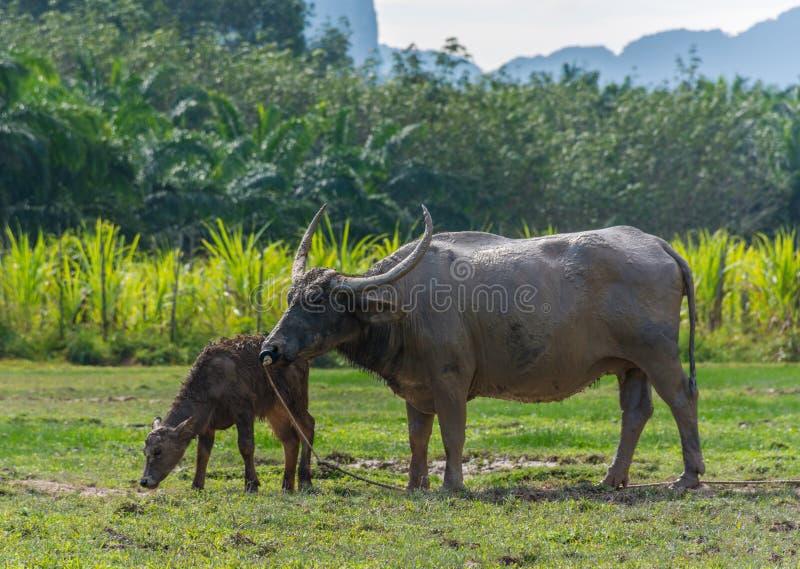 Тайский буйвол стоя в поле травы на Phang Nga, Таиланде стоковые изображения
