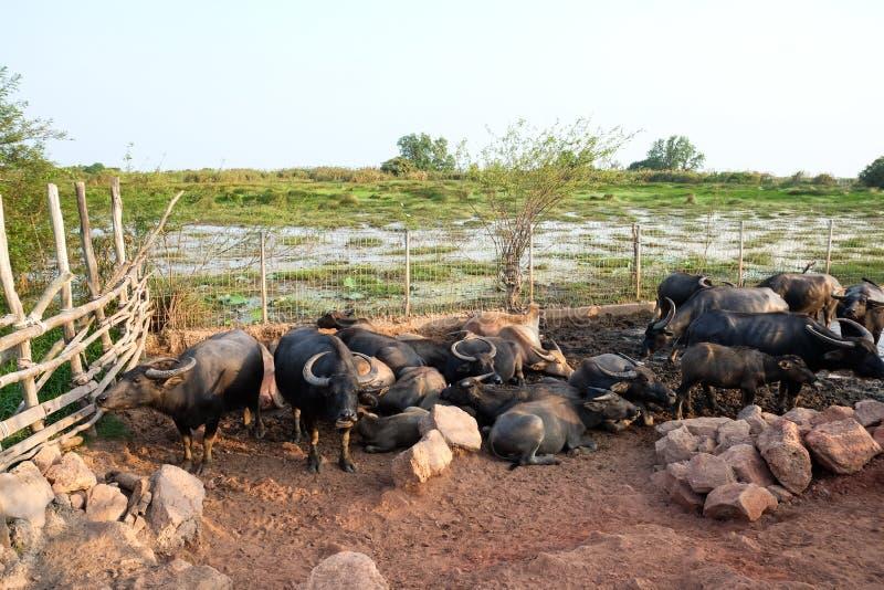 Тайский буйвол с заходом солнца Машина Life фермера стоковые изображения rf