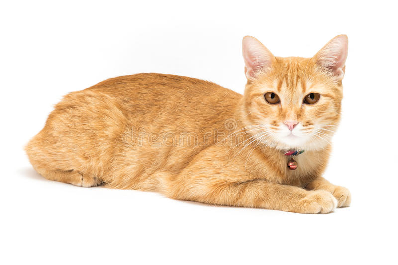 Тайский желтый кот стоковые фотографии rf