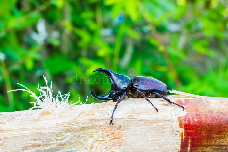 Тайский жук носорога есть сахарный тростник стоковые фотографии rf