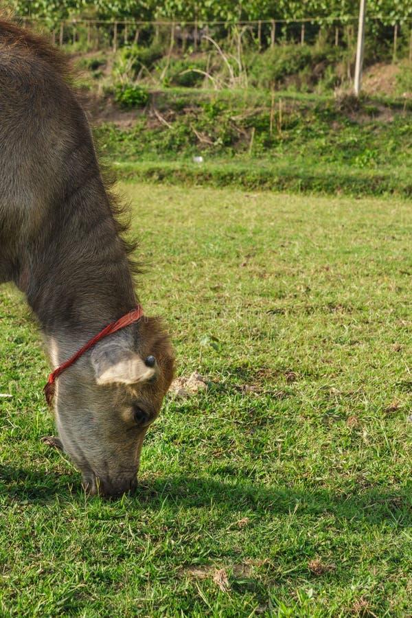 Тайский молодой буйвол есть траву в поле стоковое изображение rf