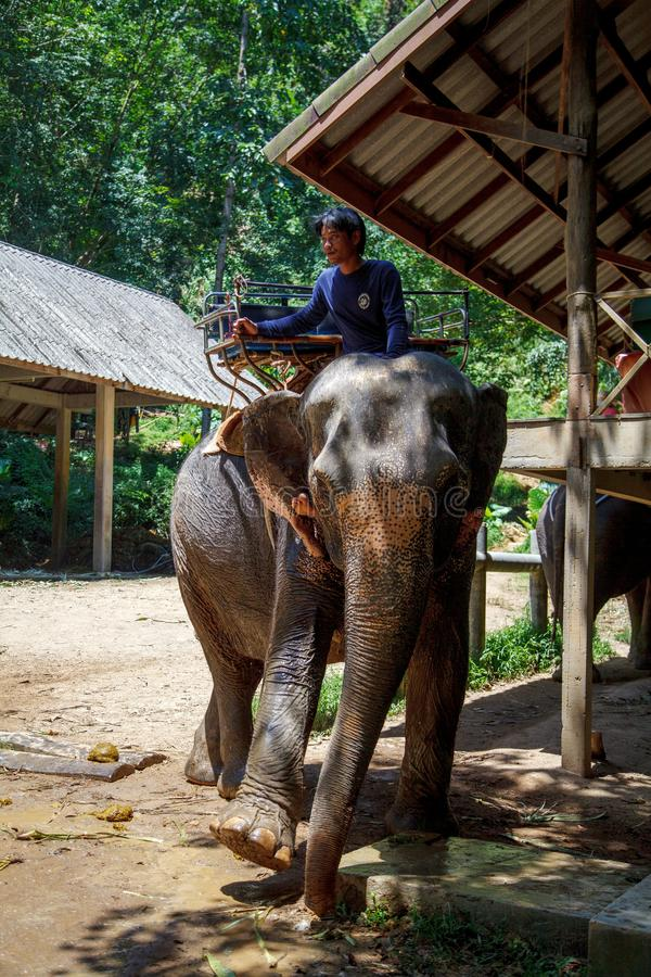 Тайский слон с предпосылкой леса Классифицируют тайские слонов как индийские слоны стоковые фото