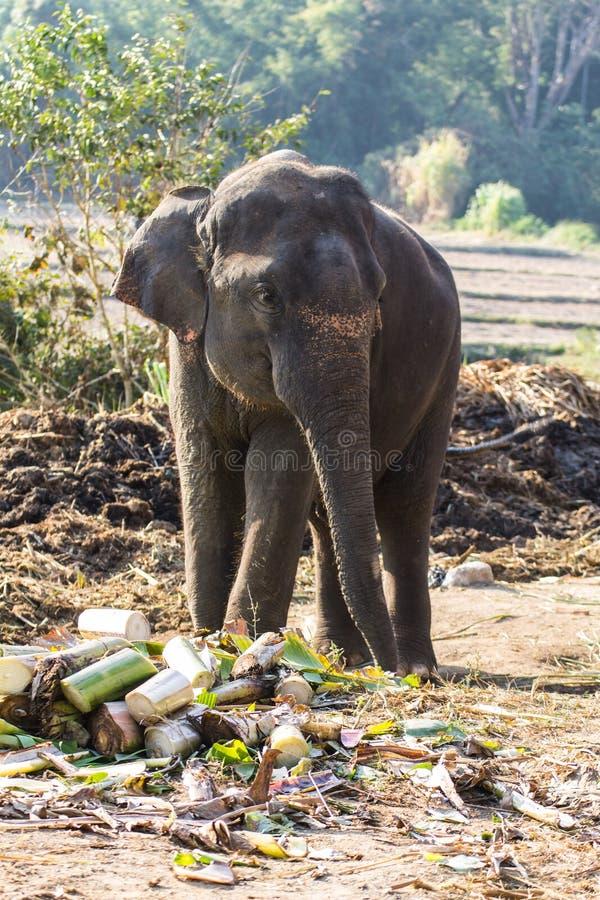 Тайский слон стоковое фото