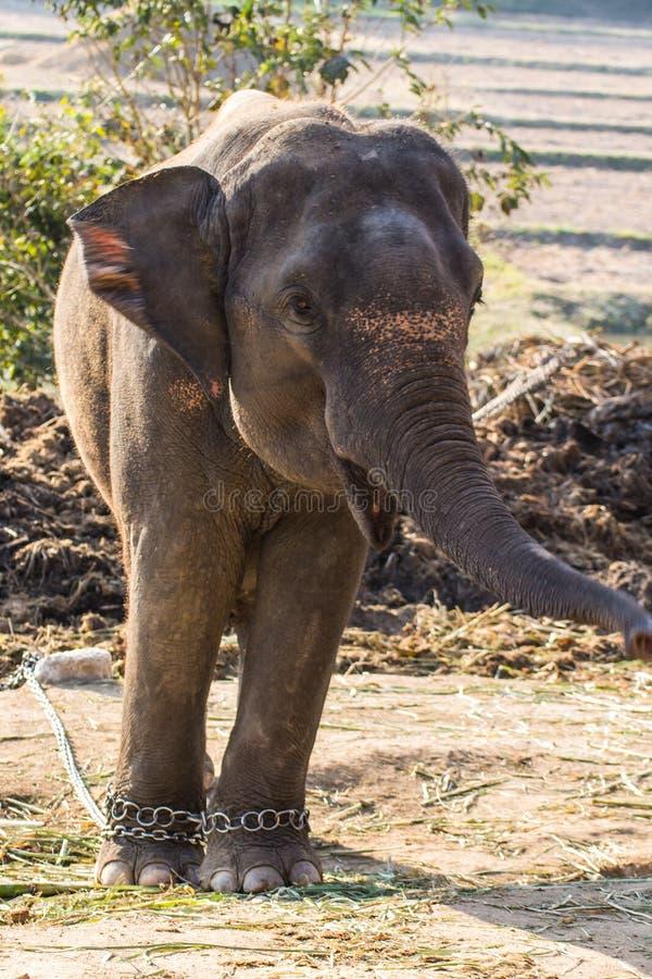 Тайский слон стоковые фотографии rf