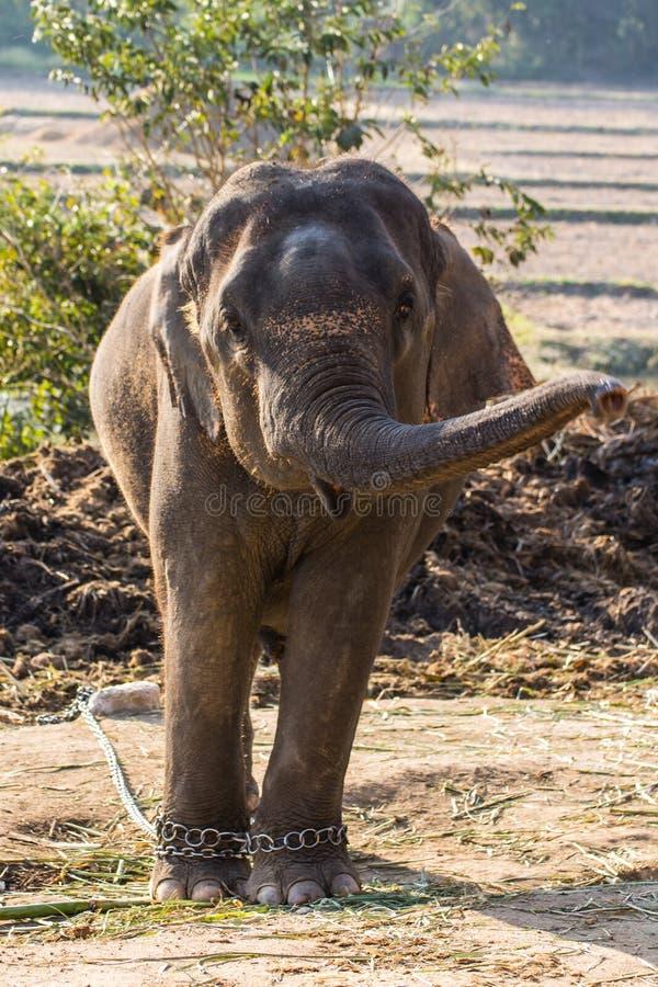 Тайский слон стоковые фото