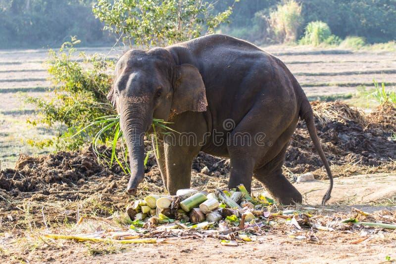 Тайский слон стоковое изображение rf