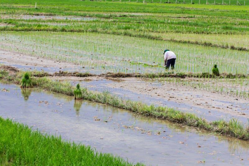 Тайский фермер засаживая на поле риса стоковая фотография rf