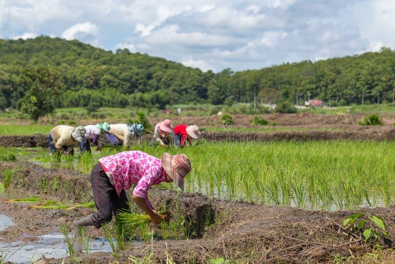 Тайский фермер засаживая новый рис в их fileds стоковая фотография