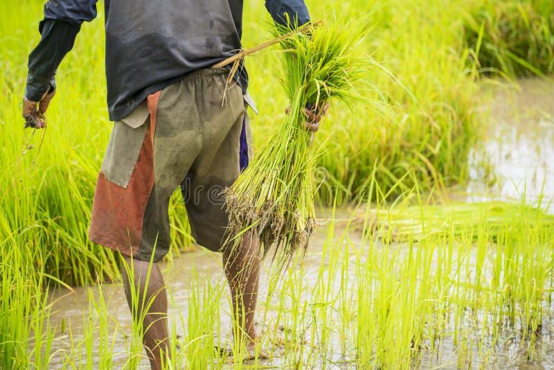 Тайский фермер засаживая рис в ферме стоковая фотография rf