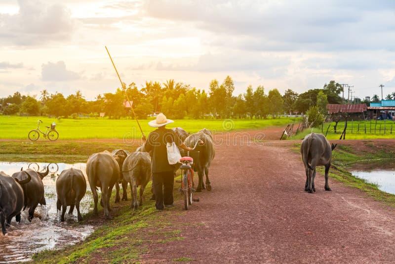 Тайский фермер приносит буйволу задний домашний крест грязная улица около озера стоковое изображение