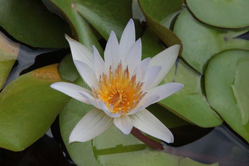 Тайский цветок: Nucifera цветка или Nelumbo лотоса один из 2 extant видов аквариумного растени стоковое изображение rf