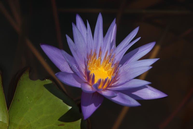 Тайский цветок: Nucifera цветка или Nelumbo лотоса один из 2 extant видов аквариумного растени стоковые изображения rf