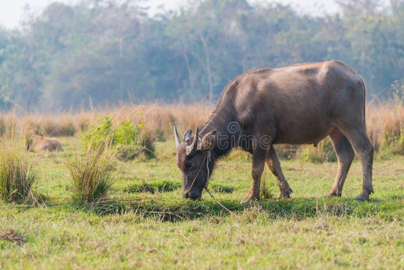 Тайское молодое мужское baffalo стоя в поле стоковые изображения rf