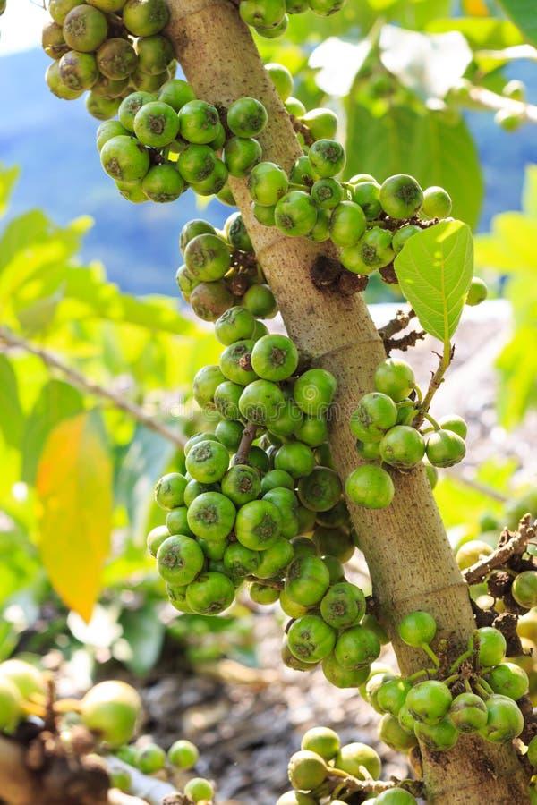 Тайское Ficus Carica стоковые фотографии rf