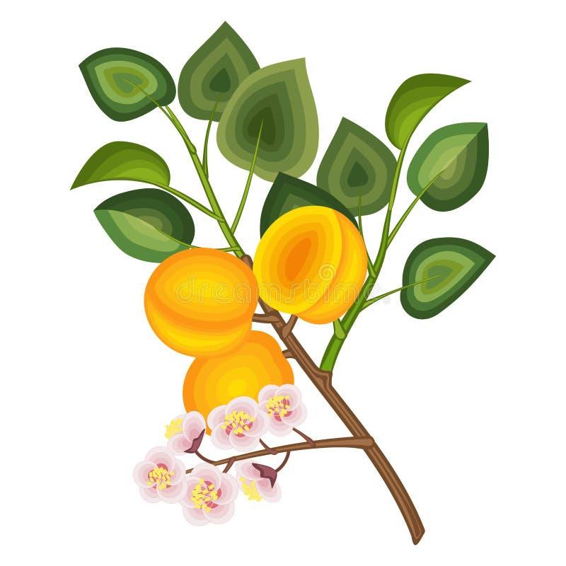 также вектор иллюстрации притяжки corel Ветвь дерева абрикоса с плодоовощами и цветками иллюстрация штока