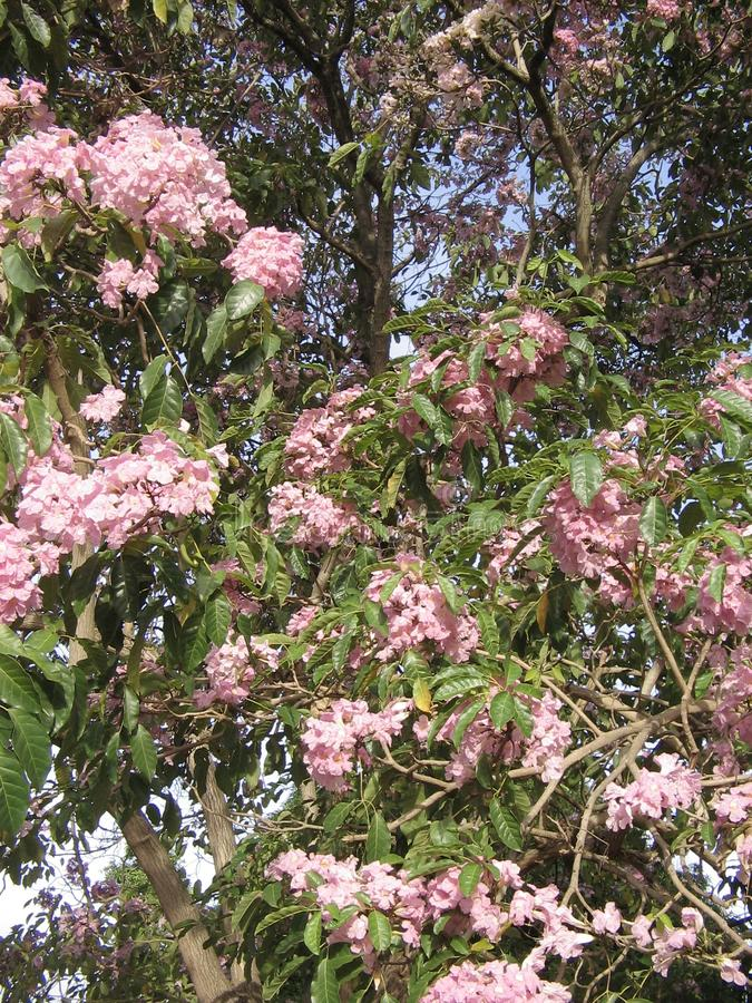 Также вызванное rosea Tabebuia, розовым poui, и румяным деревом трубы стоковые изображения rf