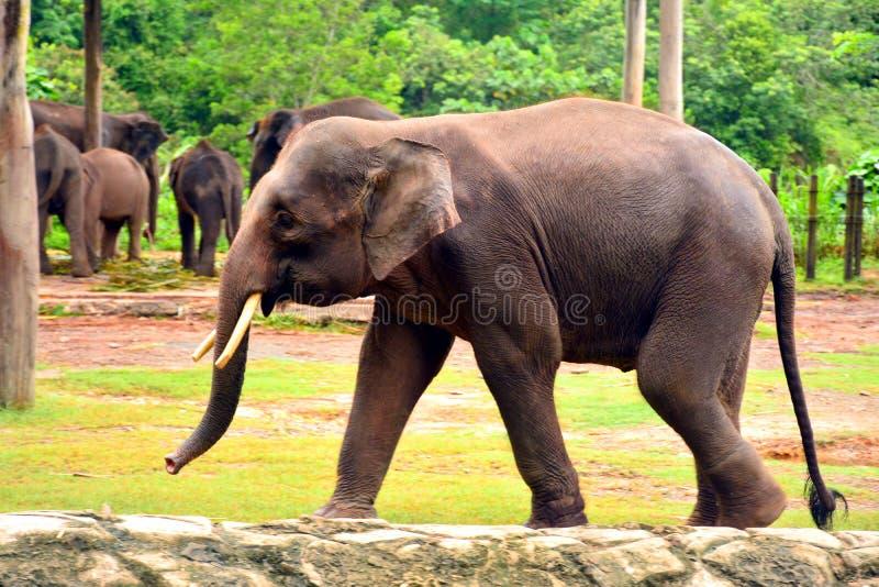Также вызванный слон Борнео, слоном пигмея Борнео стоковое изображение rf
