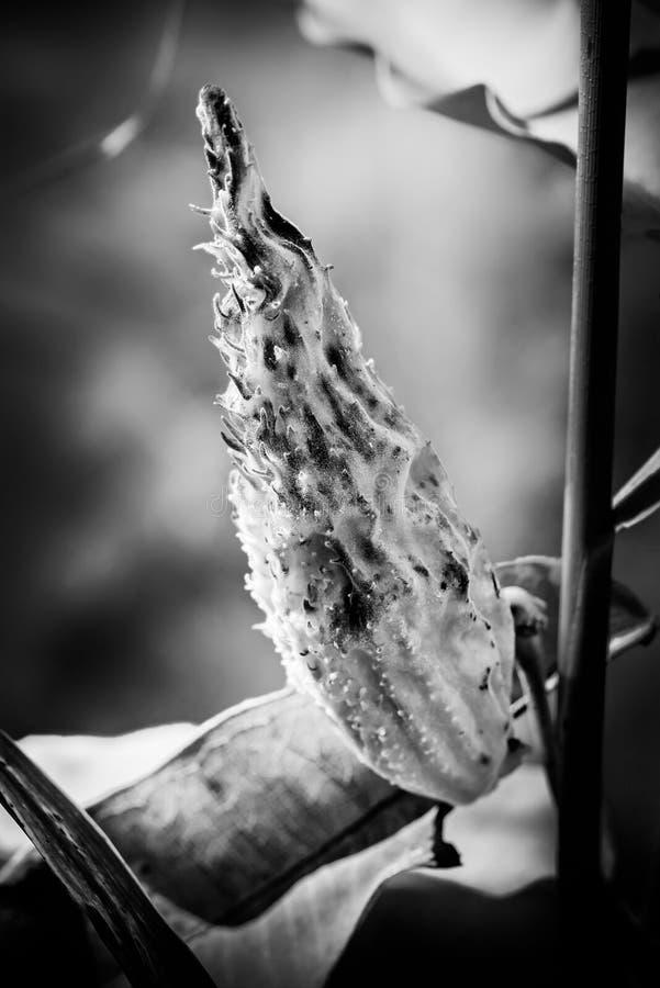 Также вызванный milkweed или silkweed крупный план плодоовощ Syriaca Asclepias, стоковое фото