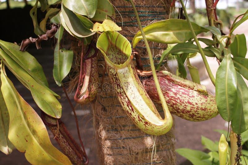 также как чашка известная по месту monkey завод питчера nepenthes стоковое изображение
