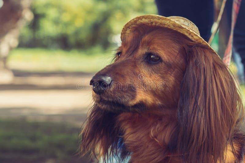 Такса Брайна длинн-с волосами с умными глазами в шляпе стоковое фото rf