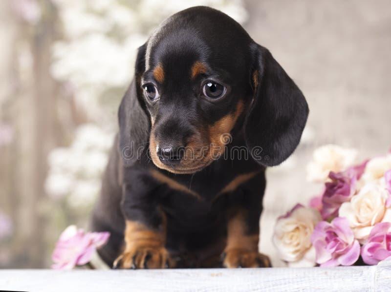 Такса щенка стоковое изображение