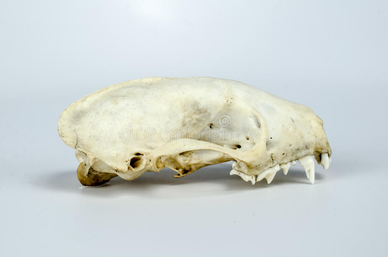 Таксидермия черепа скунса стоковые изображения rf