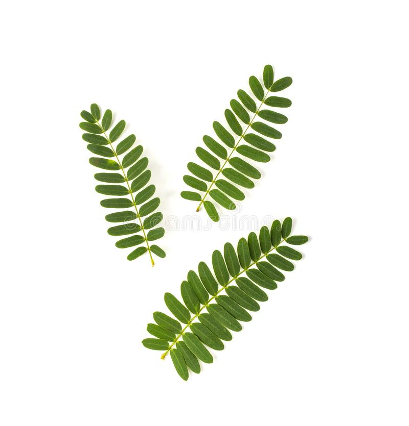 Тамариндские листья изолированы на белом фоне стоковая фотография rf