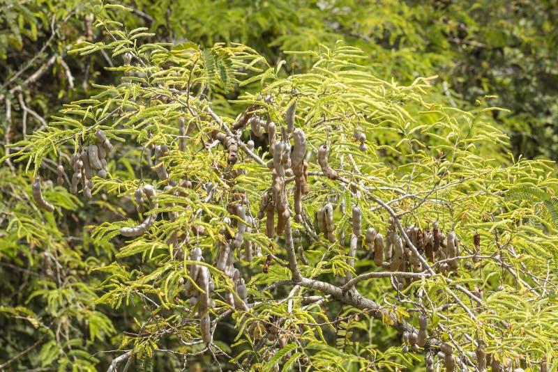 Тамаринд на дереве стоковая фотография rf