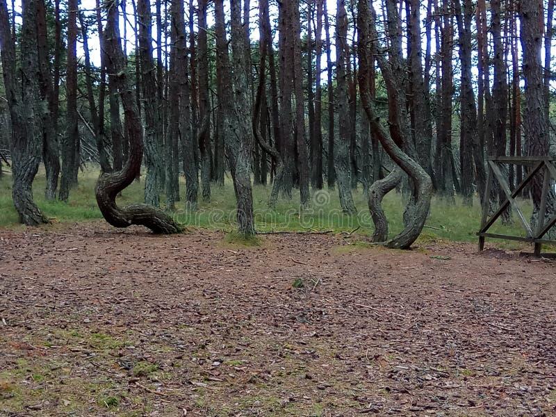 Танцуя вертел Curonian леса Россия стоковые фото