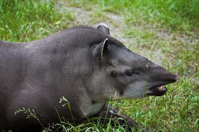 Тапир низменности Животный профиль портрета лежать травы стоковое изображение