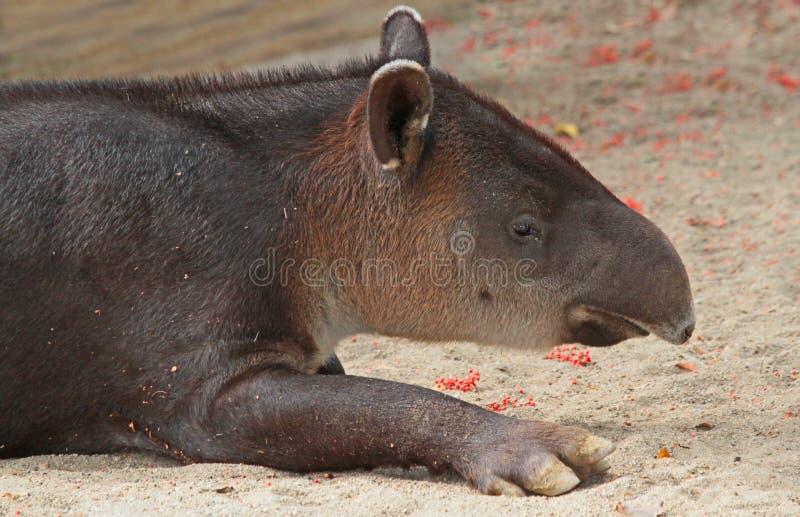 Тапир стоковое фото rf