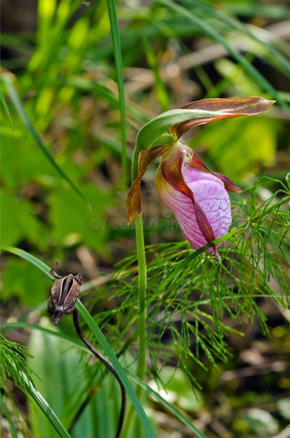Тапочка дамы одичалого пинка (acaule Cypripedium) стоковые изображения rf