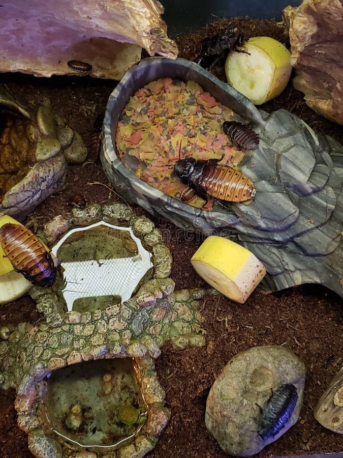 Тараканы Мадагаскара шипя стоковые изображения rf