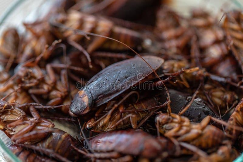 Таракан для исследования находя паразиты в лаборатории стоковая фотография