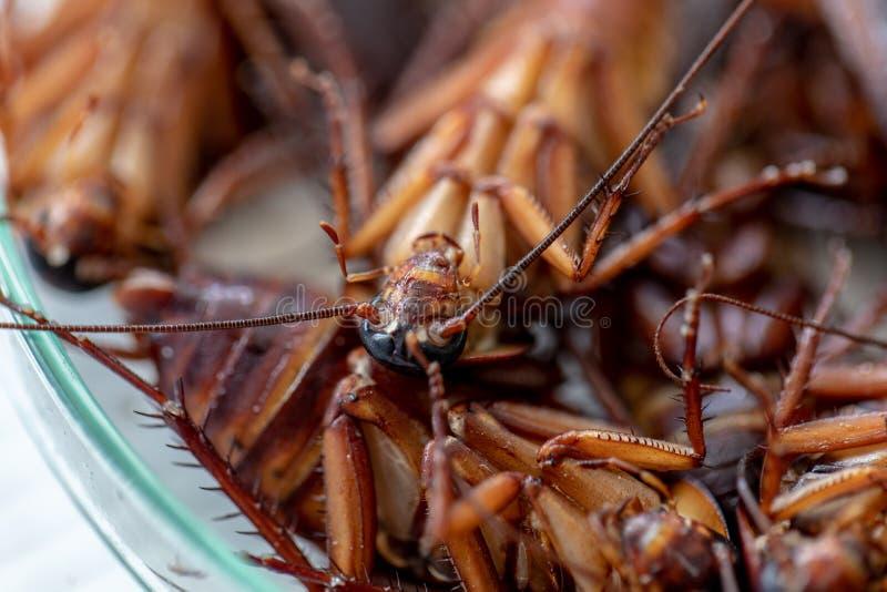 Таракан для исследования находя паразиты в лаборатории стоковые фотографии rf