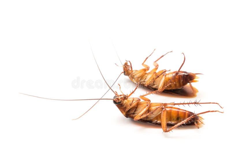 Таракан крупного плана на белой предпосылке для продукта co инсектицида стоковое фото