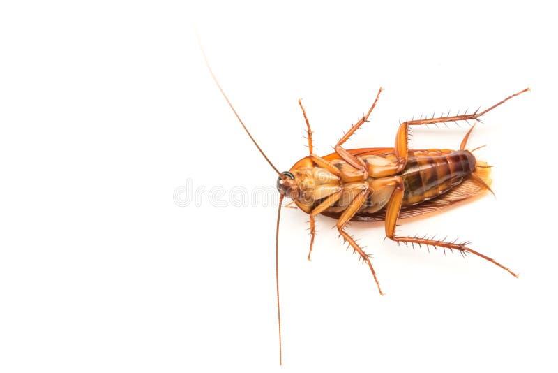 Таракан крупного плана на белой предпосылке для продукта co инсектицида стоковая фотография rf