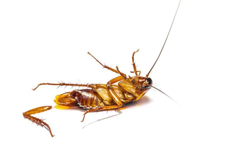 Таракан мертвый на белой предпосылке стоковая фотография rf