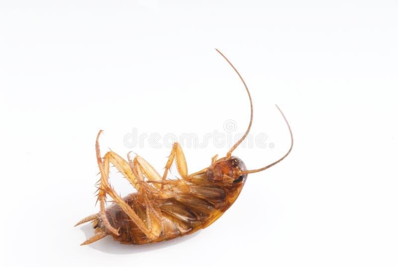 таракан мертвый стоковое изображение rf