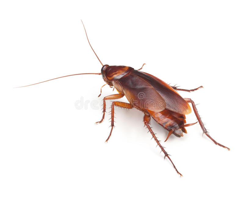 таракан стоковое изображение rf