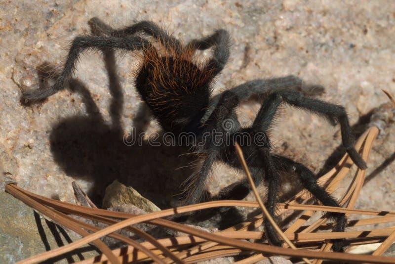 Тарантул Sonoran 406 пустынь стоковые изображения rf