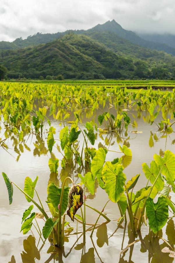 Таро fields долина Кауаи Гавайские островы hanalei стоковые изображения rf