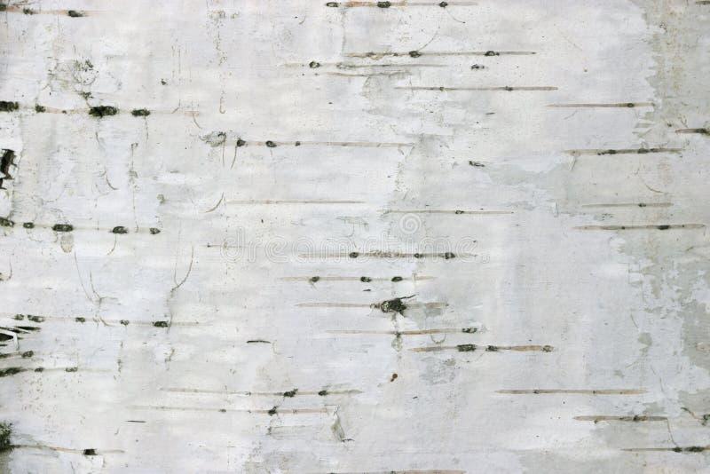 текстура березы предпосылки стоковое фото