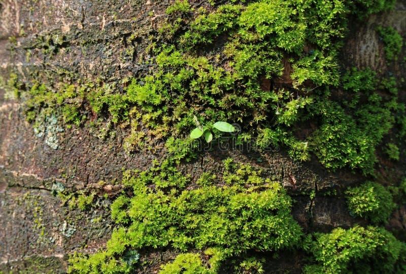 Текстура грубого хобота кокосовой пальмы темного Брайна с живым зеленым мхом и меньшими листьями стоковые изображения